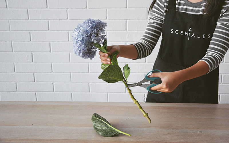 blog-trim-hydrangea-leaves